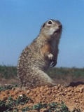 Ground Squirrel Spermophilus suslicus small Sciuridae Ardilla