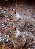 Ground Squirrel Photo Gallery