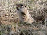 Ground Squirrel Washington ground-squirrel- Sciuridae Ardilla