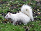 Tree Squirrel Albino  Squirrel Sciurus Sciuridae Ardilla