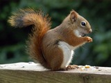 Tree Squirrel American Red Squirrel Sciurus Sciuridae Ardilla