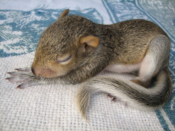 Tree Squirrel Baby Squirrel Sleeping Sciurus Sciuridae Ardilla