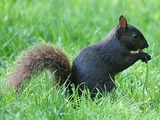 Tree Squirrel Black squirrel Sciurus Sciuridae Ardilla
