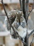 Tree Squirrel Eastern Gray Squirrel Sciurus Sciuridae Ardilla
