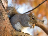 Tree Squirrel Eastern Grey Squirrel_in_St_James London  Sciurus Sciuridae Ardilla