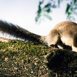 Tree Squirrel Giant-squirrel Sciurus Sciuridae Ardilla