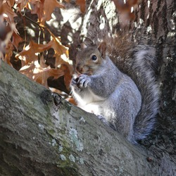 Tree Squirrel Gray Squirrel Boston Sciurus Sciuridae Ardilla
