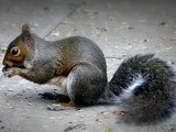 Tree Squirrel Grey_squirrel Sciurus Sciuridae Ardilla