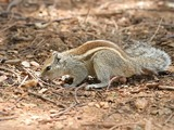 Tree Squirrel Indian_Palm_Squirrel_Bangalore_2009 Sciurus Sciuridae Ardilla