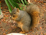 Tree Squirrel Lightmatter wild squirrel Sciurus Sciuridae Ardilla