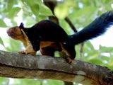 Tree Squirrel Malabar giant sqirrel Sciurus Sciuridae Ardilla