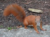 Tree Squirrel Red squirrel_(Sciurus_vulgaris) Sciurus Sciuridae Ardilla
