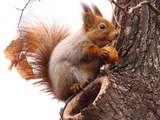 Tree Squirrel Sciurus_vulgaris red  Sciurus Sciuridae Ardilla
