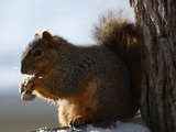 Tree Squirrel Squirrel Eating peanut Sciurus Sciuridae Ardilla