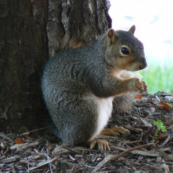Tree Squirrel Squirrel Nebraska Sciurus Sciuridae Ardilla