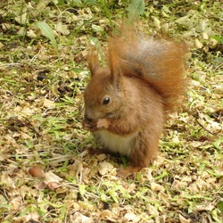 Tree Squirrel Squirrel poland Sciurus Sciuridae Ardilla