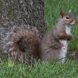 Tree Squirrel Squirrel_4_db Sciurus Sciuridae Ardilla