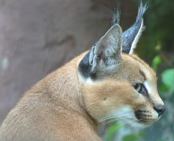 Caracal Cat Ears Picture Profile