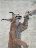 Caracal Cat Picture Caraca kitten cub
