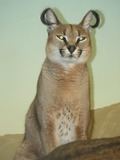 Caracal Cat Picture Caracal Cincinnati Zoo