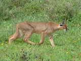 Caracal Cat Picture Caracal hunting serengeti