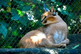 Caracal Photo Gallery