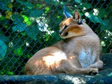 Caracal Cat Picture Caracal_caracal