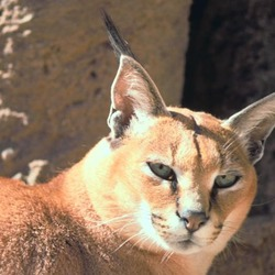 Caracal Cat Picture Caracal