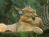 Caracal Cat Picture Lightmatter Egyptian Lynx