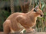 Caracal Cat Picture Wild Cat Zoo Washington