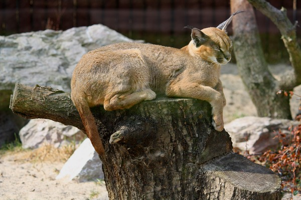 Caracal Cat Picture resting Poznan zoo
