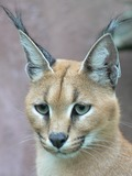 Caracal Cat Portrait Head Ears Picture