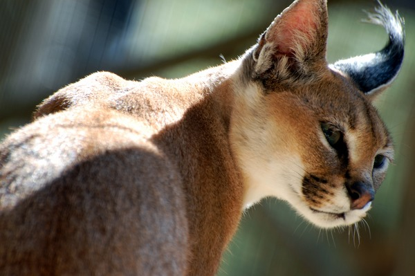 Caracal Cat face Picture Wild Cat