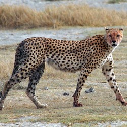 Cheetah big cat picture Image walking
