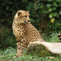 Cheetah curious picture Image Singapore Zoo