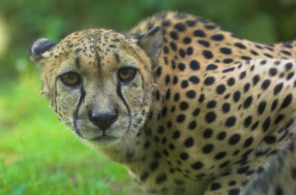 Cheetah face eyes picture Image Gepard zoo