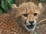Cheetah face portrait picture Image cub