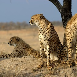 Cheetah family picture Image Acinonyx jubatus