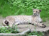 Cheetah king lying down picture Image