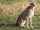 Cheetah picture Image cat Tanzanian