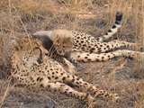Cheetah picture Image little mom cub