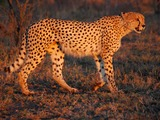 Cheetah picture Image sunset Umfolozi evening