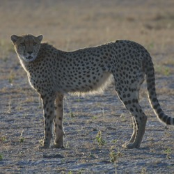 Cheetah picture Image wild cat Botswana