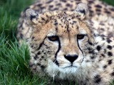 Cheetah picture Image wild cat