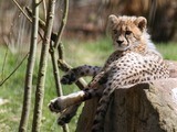 Cheetah picture Image young tired cub