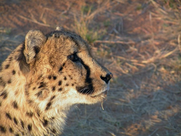 Cheetah portrait picture Image Watchful