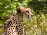 Cheetah portrait picture Image