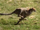Cheetah running picture Image Acinonyx jubatus
