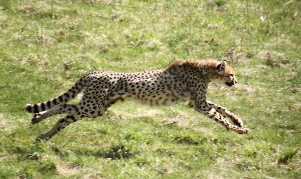 Cheetah running sprint picture Image