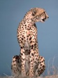 Cheetah sitting picture Image